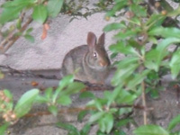 Charles River rabbit